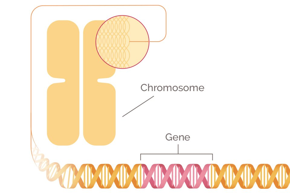 The BRCA gene and mutations